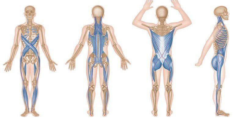 cadenas miofaciales musculares