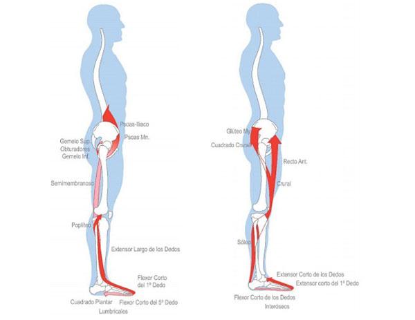 figura 2 cadenas musculares