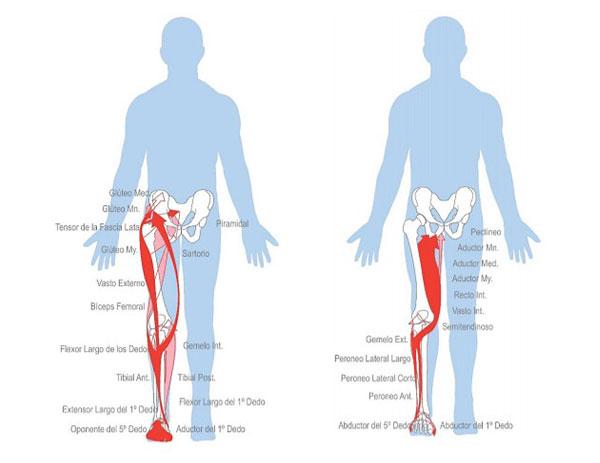 figura 3 cadenas musculares